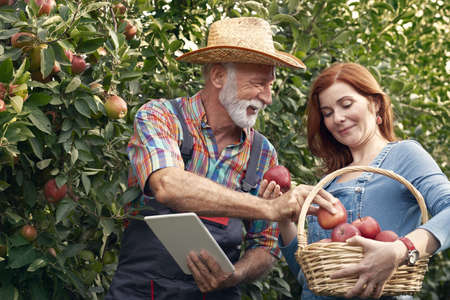 Senior fruit grower picking apples for quality control and put in basket of younger coworker