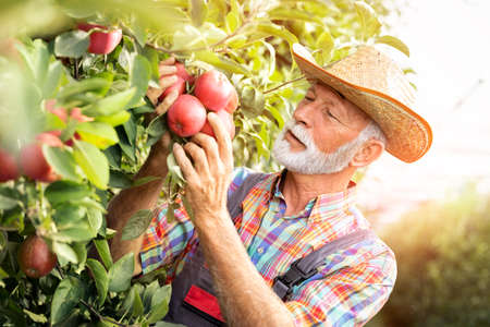 Senior man harvesting fresh red apple on his huge garden, gardening concept