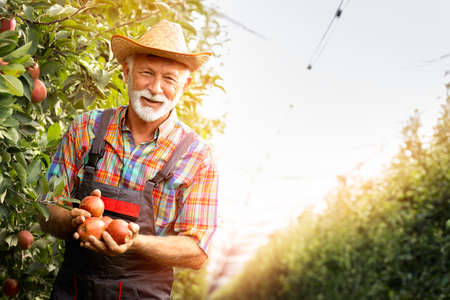 Senior gardener smiling and hold apples after picking from apple farm