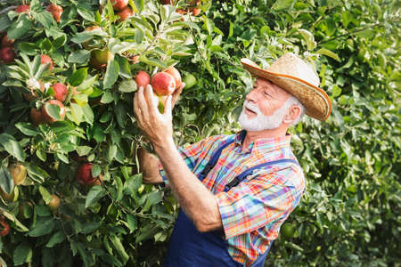 Senior man picking up apples in apple orchard