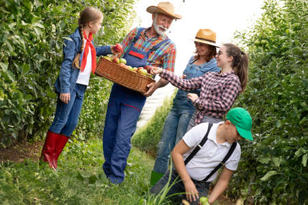 Farmer family together picking apple in apple orchard, family business