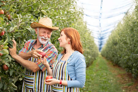 Senior man  with young woman picking organic apples into the orchard
