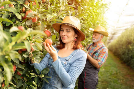 Female fruit grower inspecting apples with coworker in orchard