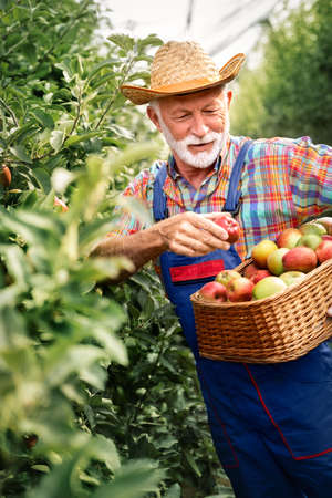 Senior man picking apples in his orchard. He examining the apple production while holding crate with apples. Foto de archivo