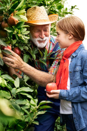 Portrait of the old farmer in a hat with his lovely granddaughter picking apples in the apple orchard. Outside Foto de archivo