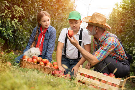 Old farmer in a hat with his lovely grandchildren sorting apples after picking them in the apple orchard.
