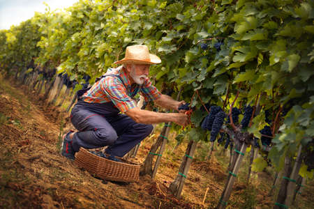 Senior winemaker in work suit and straw hat collecting grapes into the wicker basket on the vineyard Archivio Fotografico