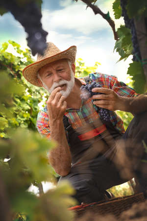 Senior farmer watches carefully freshly picked grape of the bunches grapes. View through the vine.