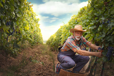 Senior Caucasian  man working in a vineyard collecting grapes. Archivio Fotografico