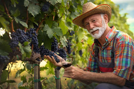 Smiling senior man working  in his vineyard and holding of red grapes. He looking at camera and being proud of his success.