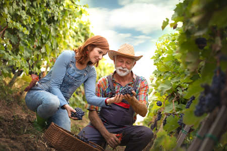 Woman and man working together in vineyard picking red grapes  from the vine