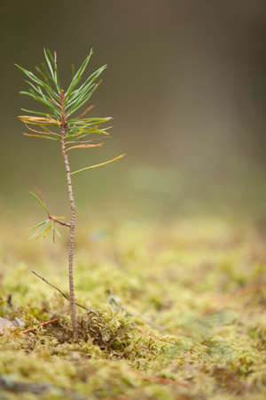 one young pine tree sprout in moss