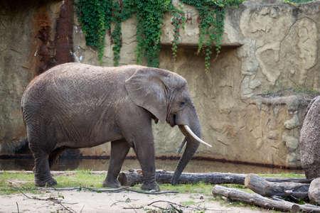 African Elephant in Tallinn Zoo.