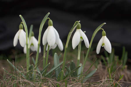 Snowdrop flowers on the forest meadow at spring.
