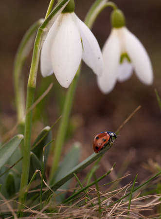 ladybug climbing on the top of snowdrop on the forest meadow