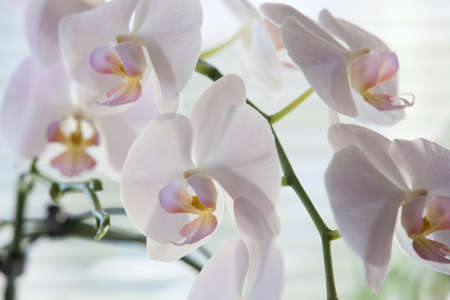 Branch of phalaenopsis with flowers background