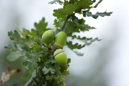 a group of acorns and oak leaves against a gray background