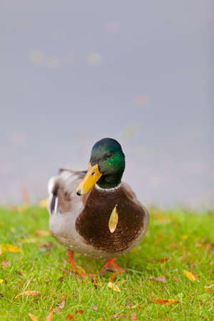 Beautiful male or drake duck on the bank of the pond Stock Photo