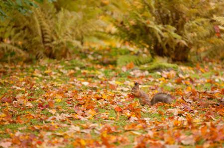 Squirrel in autumn park colorful leafs background