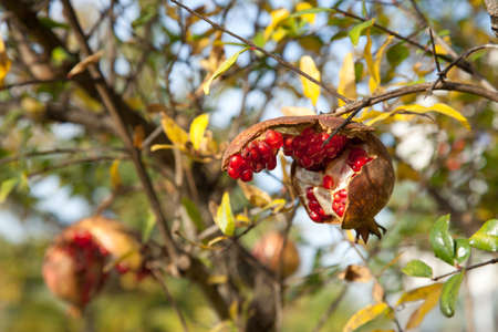 Shallow depth of field photo of ripe pomegranate fruit on tree branch Stock Photo