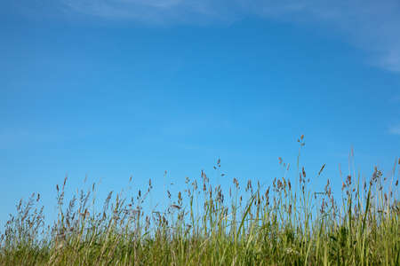 Spring or summer abstract nature background with grass in the meadow and blue sky in the back