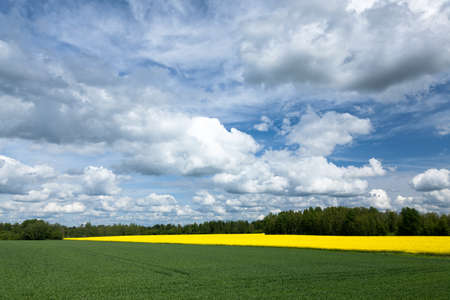 Yellow rapeseed field and blue sky, a beautiful summer landscape