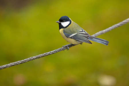 great tit ( parus major ) standing on perch over blurred background Stock Photo