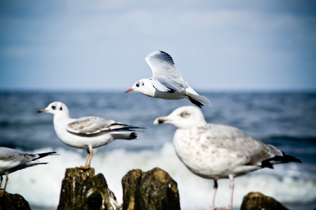 baltic sea: Seagulls perched on the breakwater, Baltic Sea.