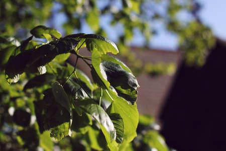 dark: dark leaves