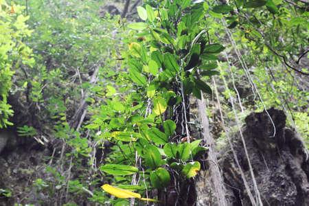 cirrus: green leaves cirrus Stock Photo