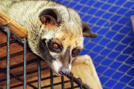 civet cat: cute civet Stock Photo