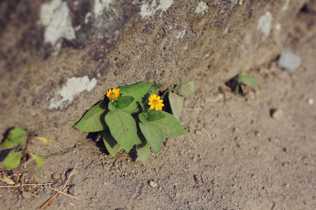 Image result for little yellow flower under a stone