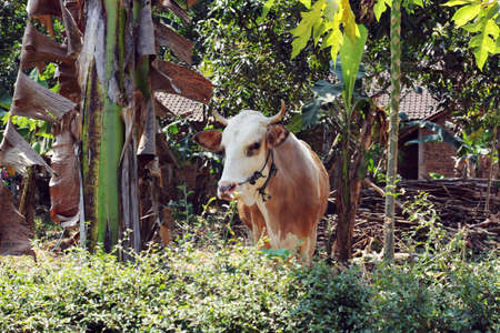 suburb: cattle at yogyakart suburb area Stock Photo