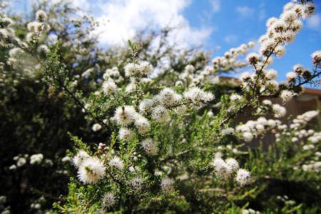 tasmania: white flower blossom at tasmania