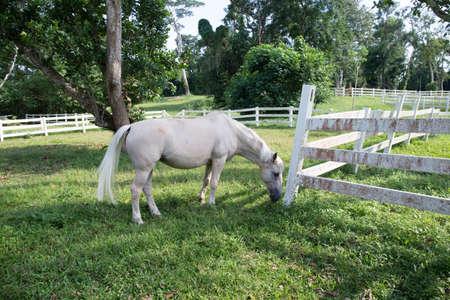 Weißes Pferd in der Farm Standard-Bild - 71120478