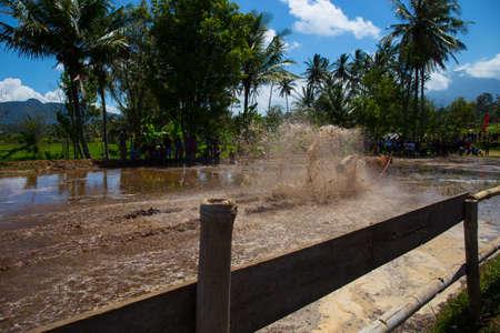 Riding cows race in Indonesia Standard-Bild