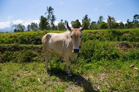 Cattle in a field Standard-Bild