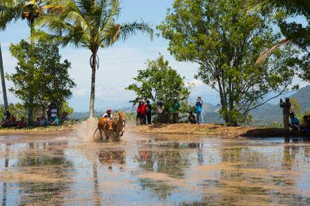 Riding cows race in Indonesia Standard-Bild - 104132648