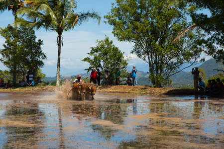 Riding cows race in Indonesia Standard-Bild - 104132649