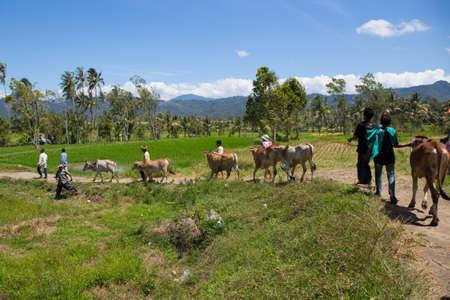 Cattle and farmers in farmland