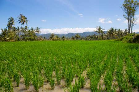 Paddy field in a rural area Standard-Bild