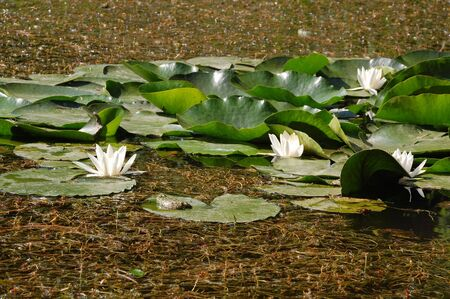 hydrophyte: water lily and frog