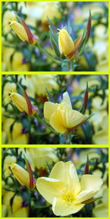 oenothera biennis: scabish flower blossoming out