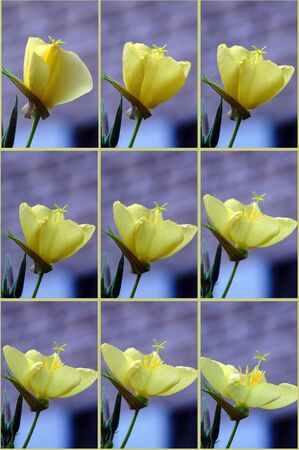 evening out: Beautiful blossoming out evening primrose flower. Multiple image. Stock Photo