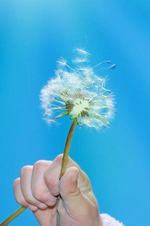 dandelion seeds in the blue sky