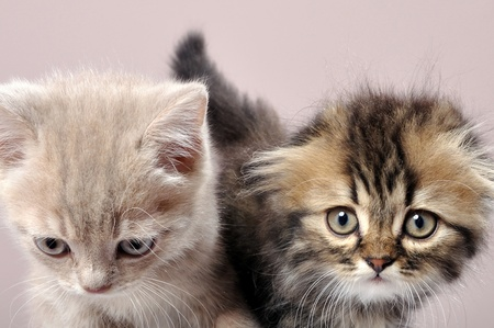 scotish: close-up portrait of two British fold and straight breed kittens