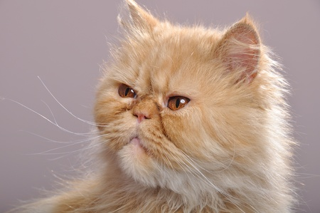 close-up portrait of a red Persian breed cat Stock Photo - 9646786