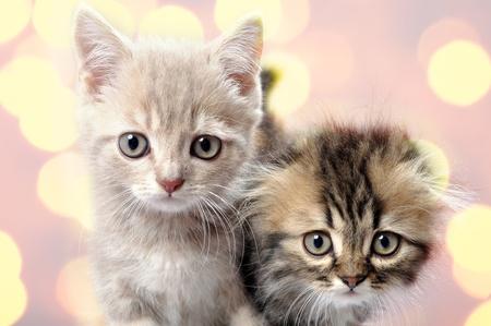 Scottish fold ear breed kittens against bright background photo