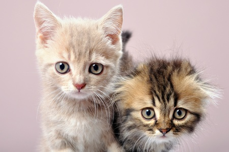 close-up portrait of two Britain breed kittens photo