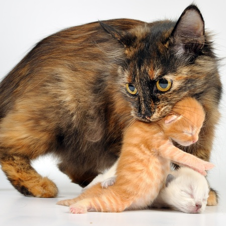 Mother cat with newborn kitten in her mouth. Studio shot.